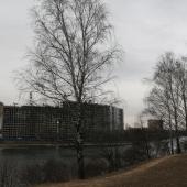 береза на берегу канала Москвы