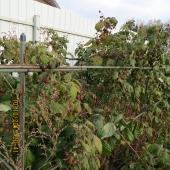 Что растет на участке: маньчжурский орех , сливы, 3 яблони, клейматисы, елка, декоративная белая калина, малина, смородина, жимолость, 7 деревьев вишни, крыжовника 3 куста