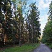 Рядом с ЖК растет чистый лес - можно гулять с семьей